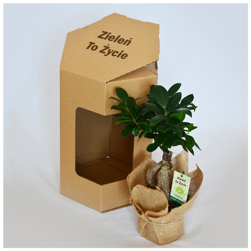 Ficus bonsai reklamowy