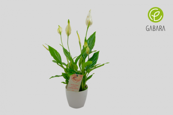 Skrzydłokwiat (spathapilium)