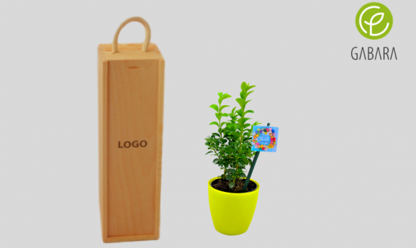 Promotional boxwood tree