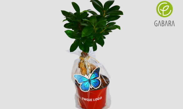 Promotional Ficus in cellophane