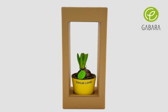 Hiacynt wielkanocny w eko pudełku