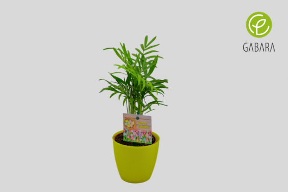 Palma oczyszczająca powietrze