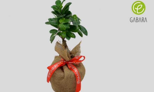 Ficus bonsai w jucie
